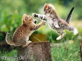 Kämpfende Katzen