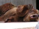 Müder Bär