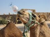Durstiges Kamel