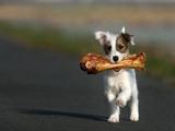 Kleiner Hund mit großem Knochen