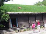 Ziege auf Grasdach