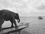 Elenfant beim Wasserski