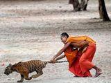Mönch und Tiger
