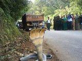Dreiköpfige Kobra
