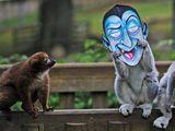 Affe verkleidet sich