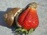 Schnecke frisst Erdbeere