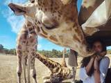 Giraffenkuss
