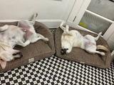 Träumende Hunde