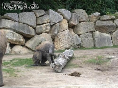 Babyelefant lernt laufen