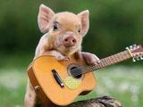 Ferkel spielt Gitarre