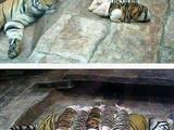 Tigerschweine